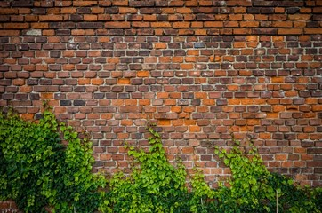 Vintage red brick wall background overgrown with ivy