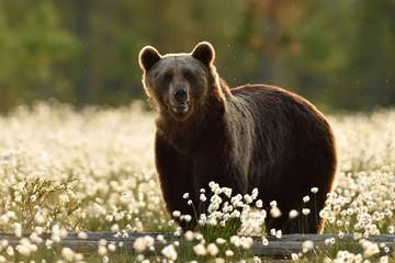 Brown bear in the flowering bog. European brown bear in the bog.