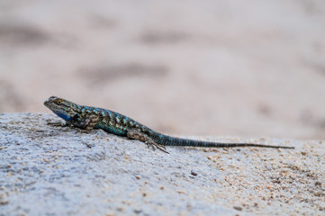 Western Fence Lizard in Joshua Tree National Park