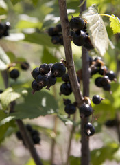 Black currant on a bush with juicy and ripe fruits