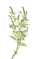 ragweed isolated on white background closeup
