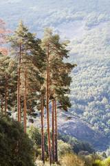 Pinos silvestres. Pinus sylvestris. Sierra de la Cabrera, León, España.