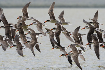 African skimmers (Rynchops flavirostris) in flight over Lake Gipe, Tsavo, Kenya, East Africa, Africa