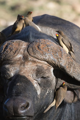 African buffalo (Syncerus caffer) with yellow-billed oxpeckers (Buphagus africanus) looking for parasites, Tsavo, Kenya, East Africa, Africa