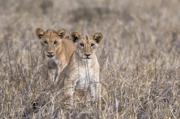 Two lion cubs (Panthera leo), one looking at the camera, Tsavo, Kenya, East Africa, Africa