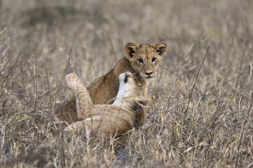 Two lion cubs (Panthera leo) playing in the tall grass, Tsavo, Kenya, East Africa, Africa