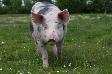 Young pietrian breed pig on natural environment