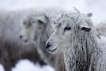 Cotswold Lion sheep in snow, Bourton-on-the-Hill, Cotswolds, Gloucestershire, England, United Kingdom, Europe
