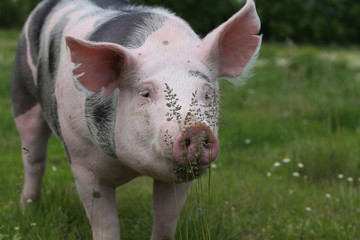 Extreme closeup of a domestic pig with wildflower