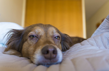 brown dog resting in bed