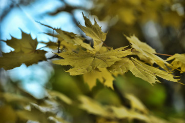 yellow maple leaves on a tree branch