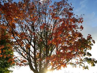 Ahornbaum Herbstlaub