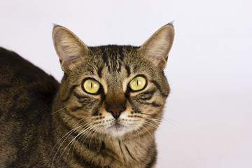 A striped cat on a white background looks to the camera. Isolated