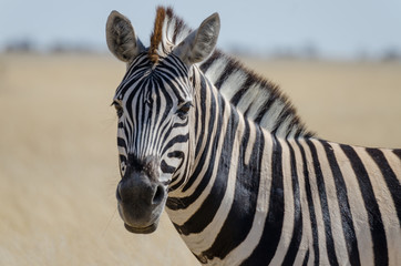 Close-up portrait of Burchells zebra in front of yellow grass, Etosha National Park, Namibia, Southern Africa