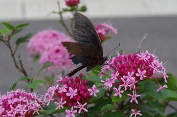 花と黒アゲハ