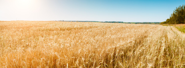 Image of summer ears wheat