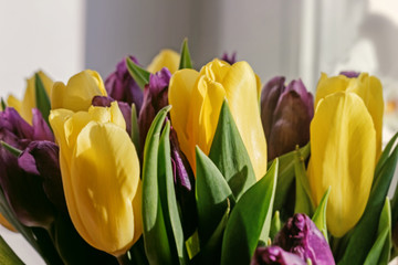 Yellow tulips with purple
