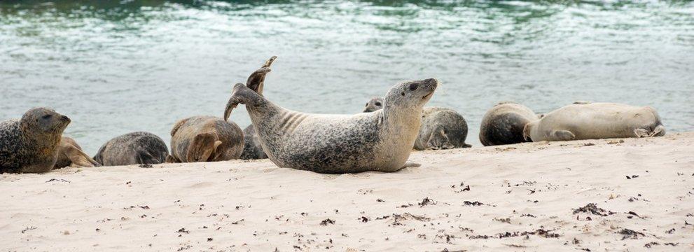 """Seehunde (Phoca vitulina vitulina) liegen auf Sandstrand, Kolonie, Helgoland, Insel """"Düne"""", Nordsee, Schleswig-Holstein, Deutschland, Europa"""