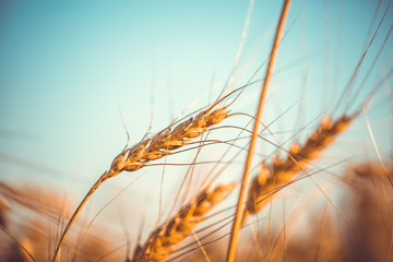 Photo of wheat spikelets, blue sky
