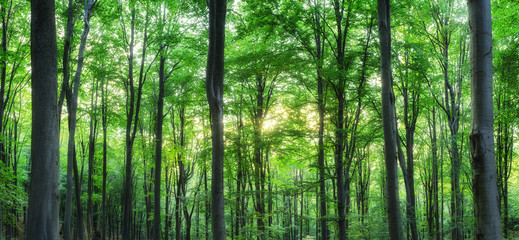 Panorama of green mountain forest with the sunlight through the trees background
