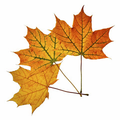 Three fallen maple leaves isolated on white