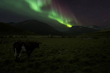 A cow in Norwegian mountains with Aurora
