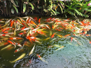 Many koi fish in pond,fancy carp.