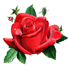 Luxury red rose. Closeup on white background