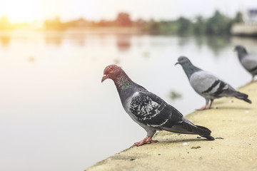 Group of pigeons standing on the river bank.