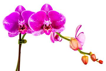 orchidée fuschia sur fond blanc