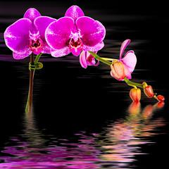 reflets d'orchidée fuschia sur fond noir