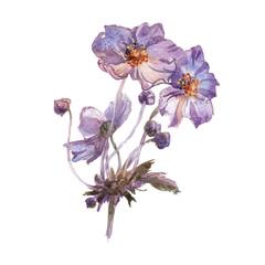 Phlox flowers hand drawn watercolor
