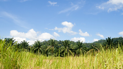 Landscape fresh green field palm tree in countryside view with blue sky.
