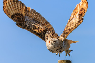 Uhu - european eagle owl flying