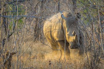 Charging baby rhino in early morning