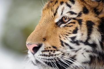 Closeup tiger portrait