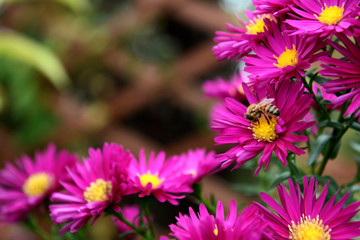 Honeybee taking pollen and nectar from pink Michaelmas daisies