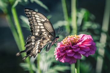 Butterfly on Purple Pink Flower