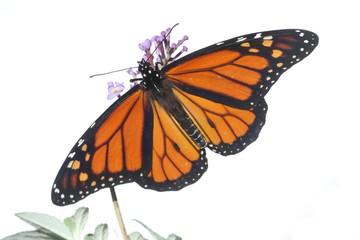 Fotoväggar - Male Monarch Butterfly (danaus plexippus) on White