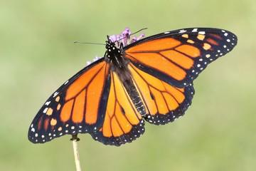 Fotoväggar - Male Monarch Butterfly (danaus plexippus)