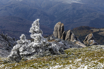 Pine tree and the first snow in the Carpathians
