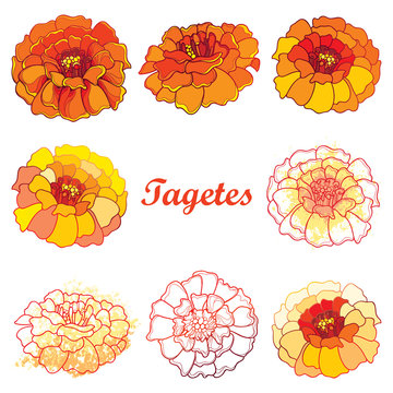 Vector set with outline Tagetes or Marigold flower. Ornate Tagetes in contour style in orange and pastel yellow color isolated on white background for summer design. Symbol Mexican Day of the dead.