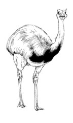 ostrich drawn in ink by hand in full growth on a white background