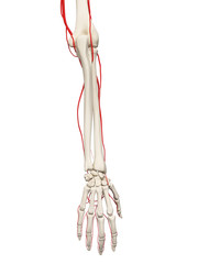 3d rendered medically accurate illustration of the arm arteries