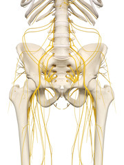 3d rendered medically accurate illustration of the hip nerves