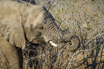 Closeup of african elephant eating leaves on branches