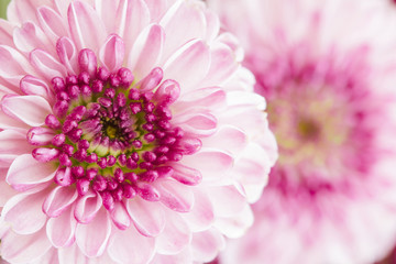 Macro of vibrant pink flowers with pastel petals