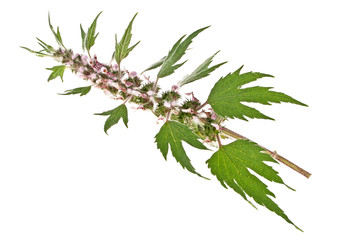 Medicinal plant, Motherwort isolated on a white background Wall mural