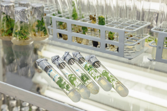 Five test tubes with microplants in nutrient medium on the glass table. Micropropagation technology in vitro