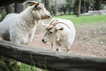 Two goats near a fence